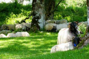 Schafe in den Pyrenäen