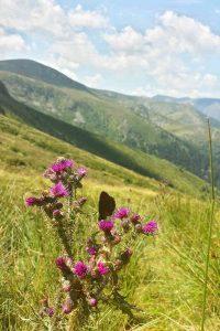 Pyrenäendistel mit Schmetterling