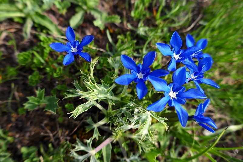 Der Pyrenäen-Enzian ist eine von 150 endemischen Pflanzenarten.